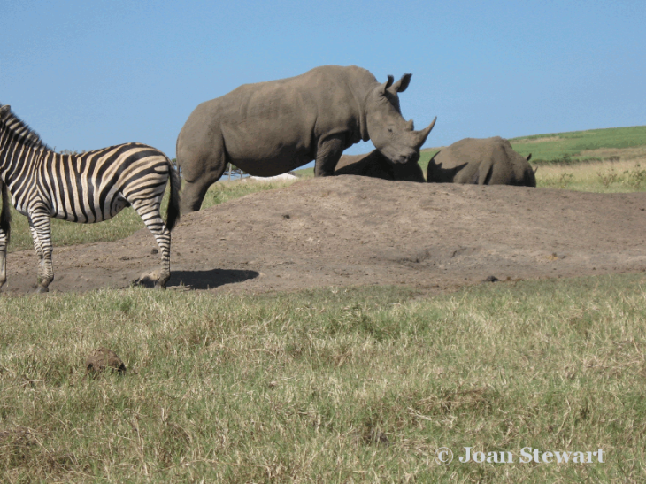 Rhino_Tala