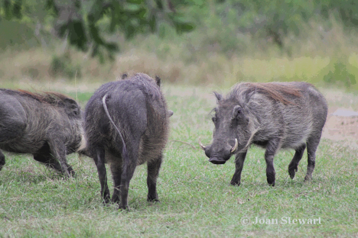Warthogs_Playing