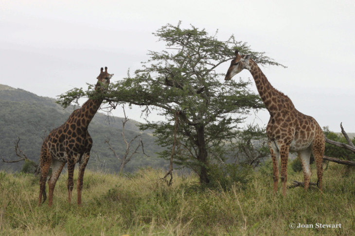 Acacia and Giraffe