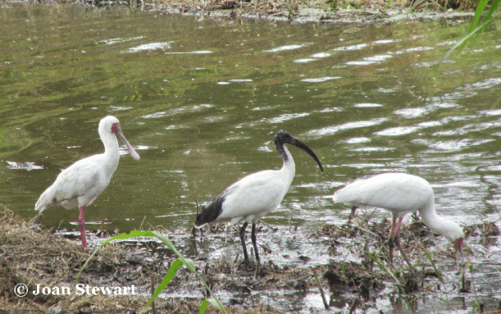 african spoonbill and sacred ibis