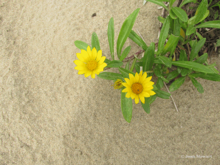 WildcoastBeachFlowers