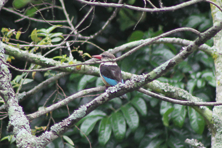 brown-hooded kingfisher