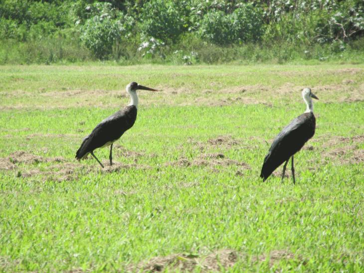 woolley-necked stork